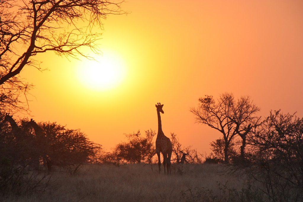 zambia-safari-girafa