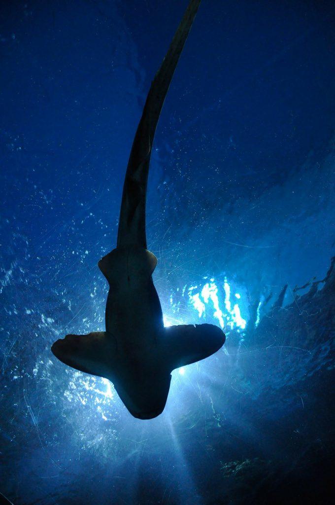 Tiburón en el Oceanografic de Valencia